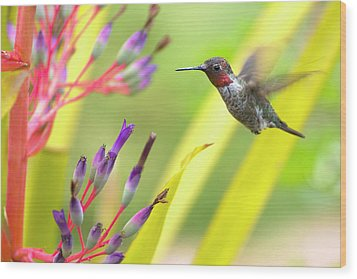 Male Anna's Hummingbird Wood Print by Mike Herdering