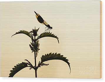 Male Banded Demoiselle At Sunset Wood Print