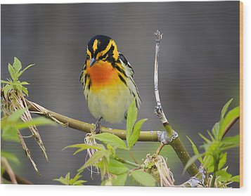 Male Blackburnian Warbler Wood Print