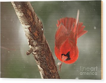 Wood Print featuring the photograph Male Cardinal Take Off by Darren Fisher