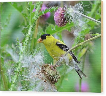 Male Goldfinch Wood Print by Kathy Eickenberg