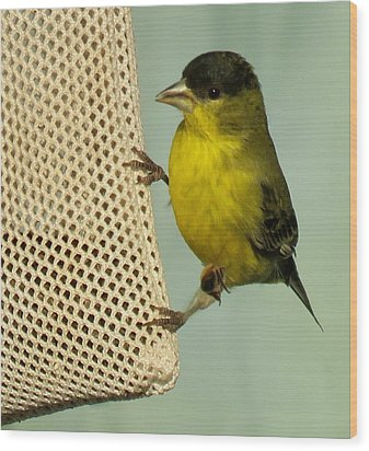 Male Goldfinch On Sock Feeder Wood Print