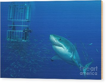 Male Great White Shark And Divers Wood Print by Todd Winner