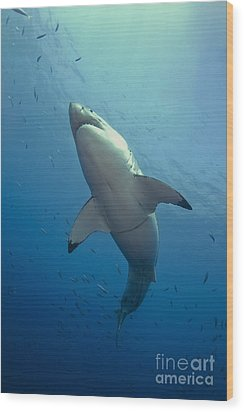 Male Great White Sharks Belly Wood Print by Todd Winner