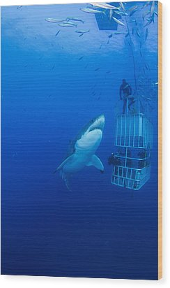 Male Great White With Cage, Guadalupe Wood Print by Todd Winner
