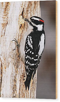 Male Hairy Woodpecker Wood Print by Larry Ricker