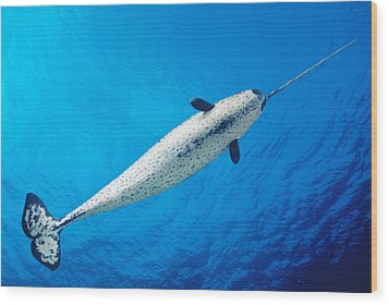 Male Narwhal Wood Print by Dave Fleetham - Printscapes