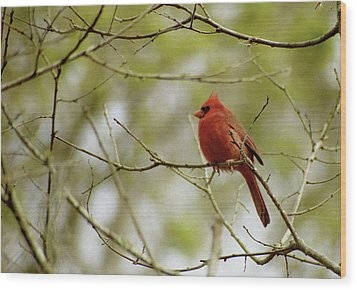 Male Northern Cardinal Wood Print by Michael Peychich