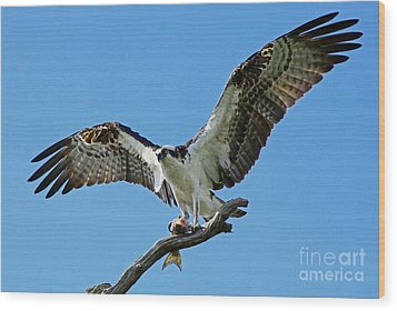 Male Osprey Wood Print