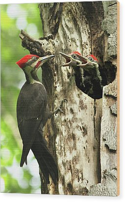 Male Pileated Woodpecker At Nest Wood Print