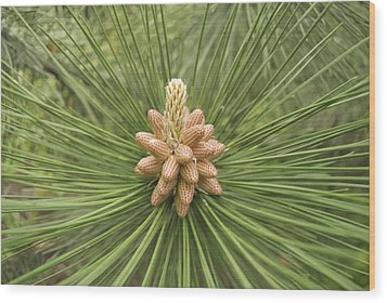Male Pine Cones  Wood Print by Michael Peychich