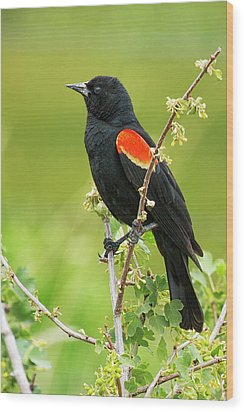 Male Red-winged Blackbird Wood Print