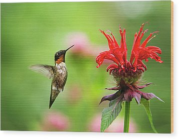 Male Ruby-throated Hummingbird Hovering Near Flowers Wood Print