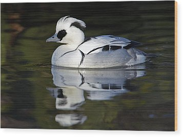 Male Smew Wood Print