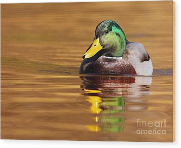 Mallard Drake In The Golden Water Wood Print by Mircea Costina Photography