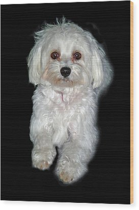 Maltese Terrier Puppy Wood Print by Kenneth William Caleno