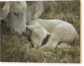Mama's Lil Lamb Wood Print by Linda Mishler