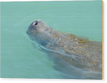 Wood Print featuring the photograph Manatee Surfaces For Air by Lynda Dawson-Youngclaus