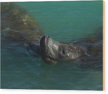 Wood Print featuring the photograph Manatee With Seaweed Snack by Lynda Dawson-Youngclaus