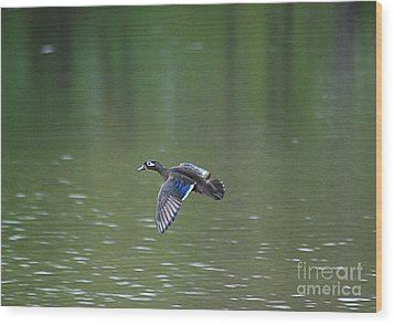 Mandarin Duck 20130507_50 Wood Print