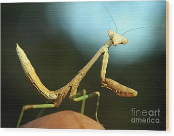 Wood Print featuring the photograph Mantid by DiDi Higginbotham
