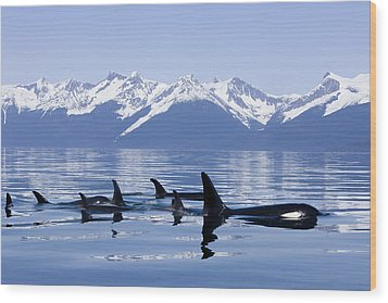 Many Orca Whales Wood Print