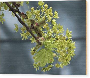 Maple Tree Flowers 2 - Wood Print
