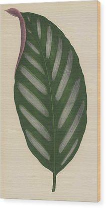 Maranta Porteana Wood Print by English School