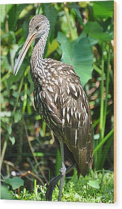 Marbled Godwit Portrait Wood Print by Rose  Hill