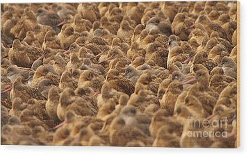 Wood Print featuring the photograph Marbled Godwit Trying To Stick Out From The Flock by Max Allen