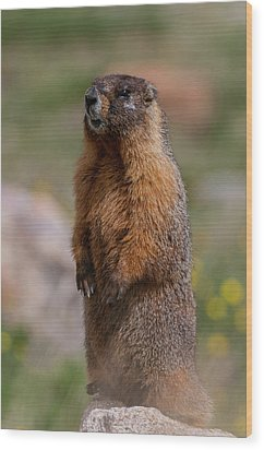 Wood Print featuring the photograph Marmot by Gary Lengyel