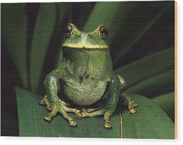 Marsupial Frog Gastrotheca Orophylax Wood Print