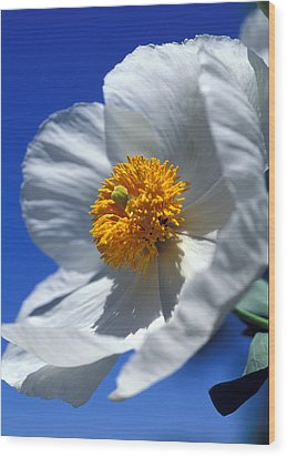 Matilija Poppy Wood Print by Kathy Yates