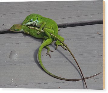 Mating Anoles Wood Print