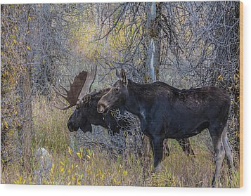 Mating Moose Wood Print by Kelly Marquardt
