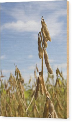 Maturing Soybeans Wood Print