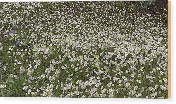 Wood Print featuring the photograph Meadow Of Daisey Wildflowers Panorama by James BO Insogna