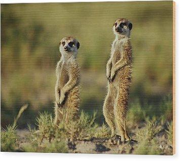 Meerkat Pair Wood Print