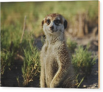 Meerkat Portrait Wood Print