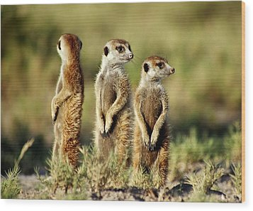 Meerkats Three Wood Print
