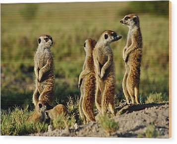 Meerkats Watching Everywhere Wood Print