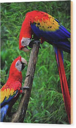 Meeting Of The Macaws  Wood Print by Harry Spitz