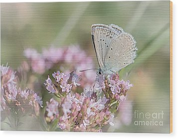 Meleagers Blue Butterfly Wood Print by Jivko Nakev