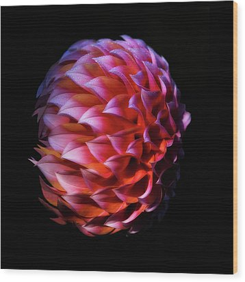Meteor Dahlia Wood Print