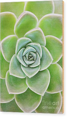 Mexican Snowball Succulent  Wood Print by Neil Overy