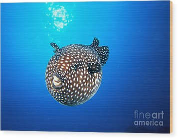 Mexico Guineafowl Puffer Wood Print by Dave Fleetham - Printscapes