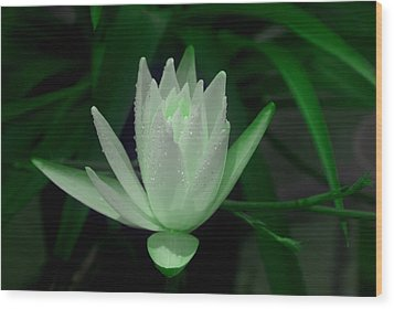 Midnite Lilly In Limelight Wood Print by Debbie May