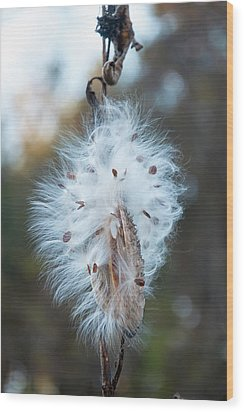 Milkweed And Its Seeds Wood Print by Chris Flees