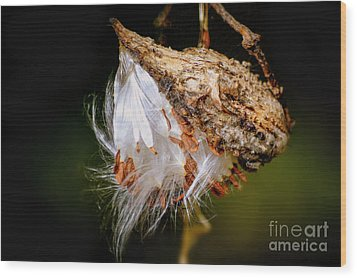 Wood Print featuring the photograph Milkweed by Brenda Bostic