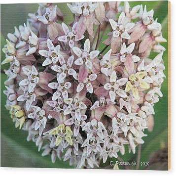 Milkweed Flower Ball Wood Print